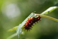 新治市民の森のガの幼虫(Lava, Niiharu Community Woods)
