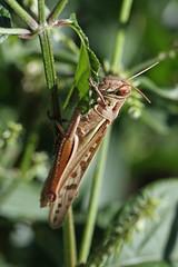 新治市民の森のツチイナゴ(Grasshopper, Niiharu Community Woods)