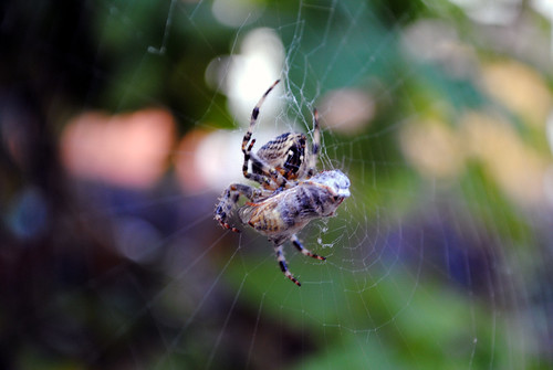 Spider eating a wasp 1