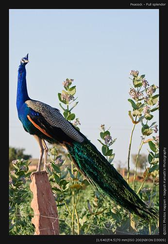 Peacock - Full splendor