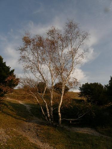 Silver birch, Arnside Knott