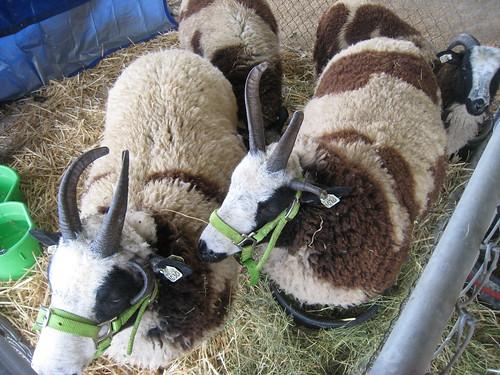 2011_10_01_Lambtown_e_Jacob-sheep