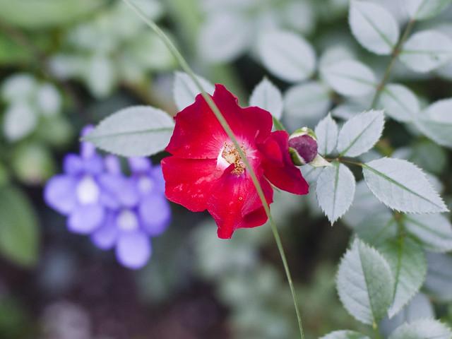 Rose and Streptocarpella