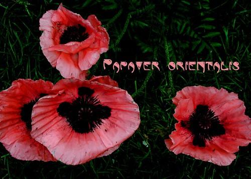 softlight_pink poppies copy
