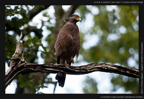 Is that a serpent I just saw? | Crested Serpent Eagle