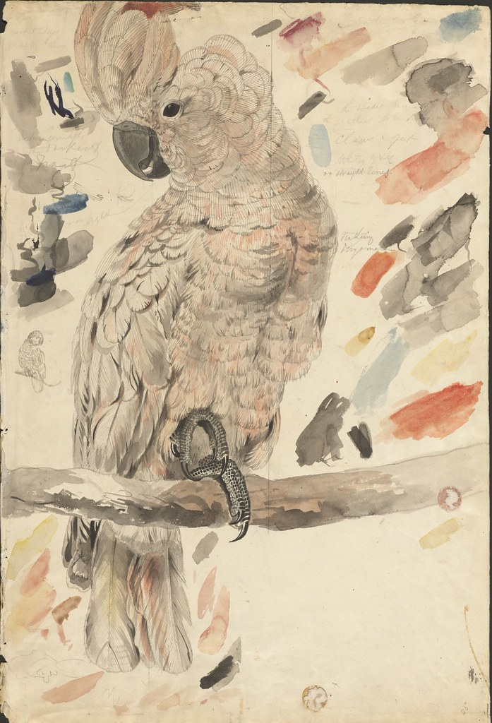 Salmon-crested cockatoo -- graphite and watercolour drawing (25)