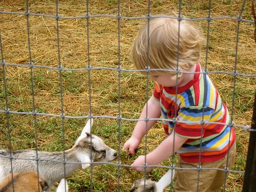 feeding goats some grass