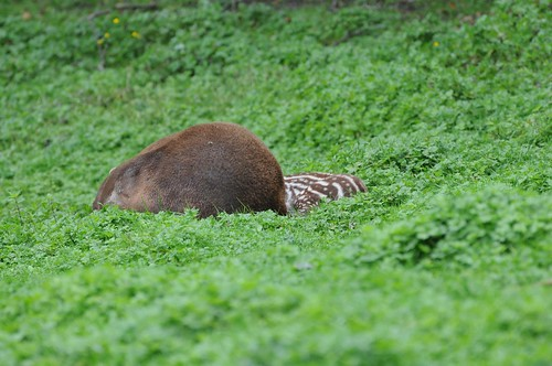 Flachlandtapire im Tierpark CERZA bei Lisieux in der Normandie