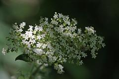 新治市民の森のオトコエシ(Flower, Niiharu Community Woods)