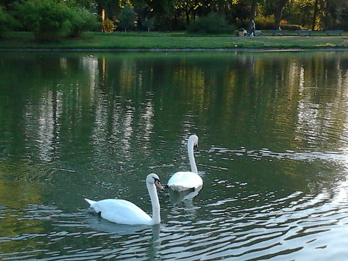 Swans on the Lac Daumesnil