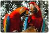 Arara vermelha - Red Macaw by Shalla Ball