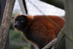 Roter Vari im Zoo de Maubeuge