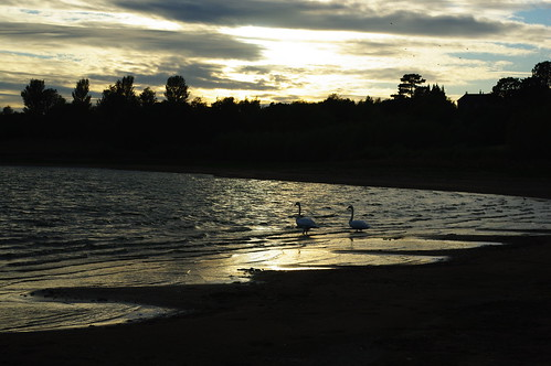 20110819-05_Swans_Dunns Bay_Draycote Water by gary.hadden
