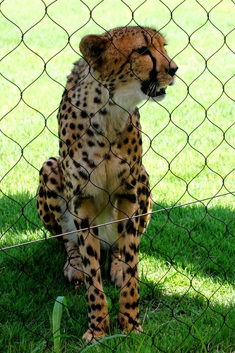 Happy Cheetah Girl
