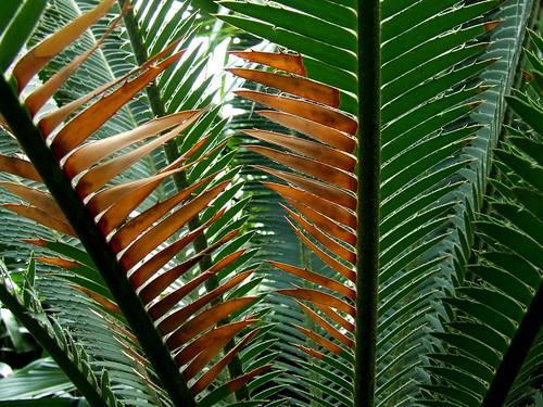 browning cycad leaves