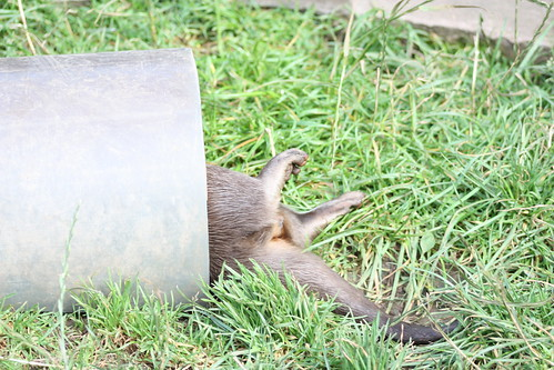 a piece of pipe on grass. The back half of an otter is hanging out of the pipe, as it plays.