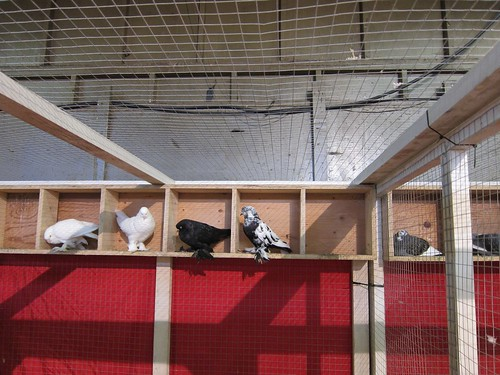 Fluffy-Footed Pigeons