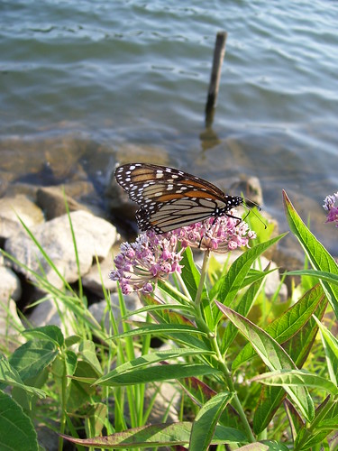 Monarch at the Water's Edge by pixygiggles