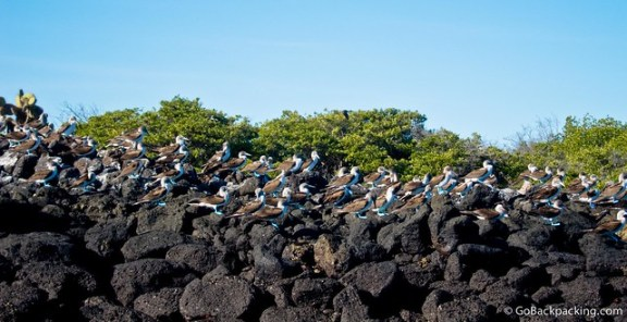 Blue Footed Boobies at sunset
