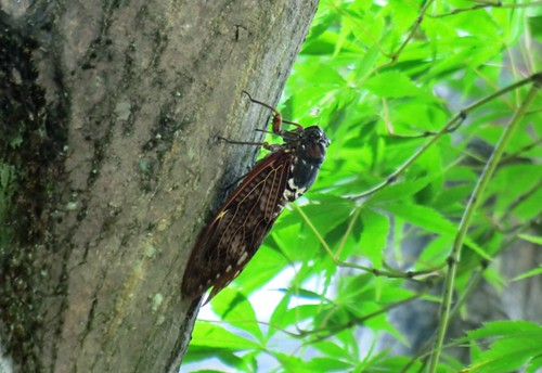 Large Brown Cicada