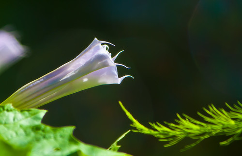 jimsonweed flower