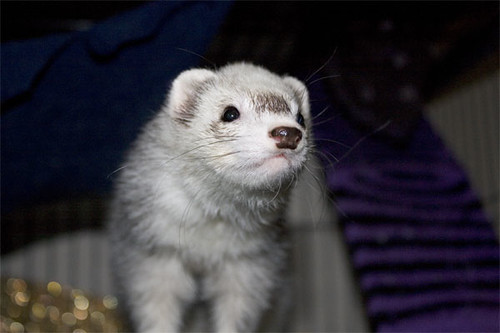 Little female ferret We are fostering