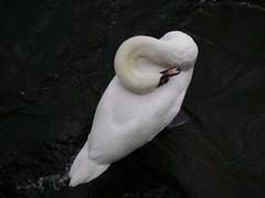 Infinity Swan