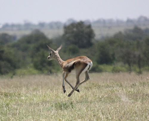 Grant's Gazelle Running