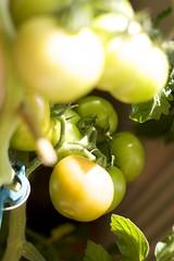 Tomaten rijping 20-08