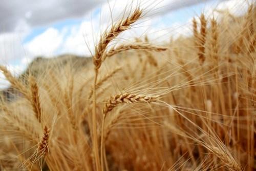 Montana wheat.