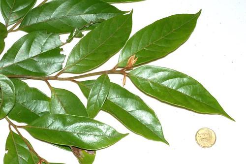 Endiandra hypotephra probably wp39