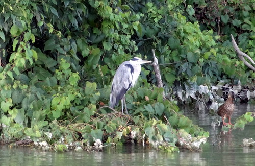 Grey Heron (Ardea cinera) by bill kralovec
