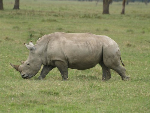 Young White Rhino at Lake Nakuru