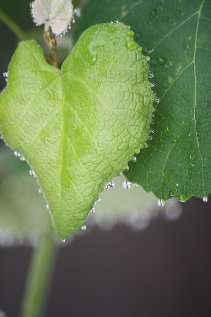 raindrops on grape leaves