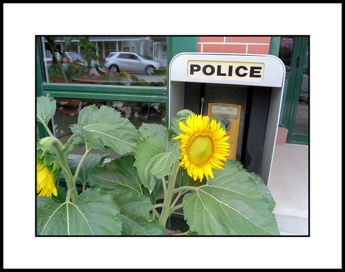 sunflower makes call to police in dangerous downtown Elmvale. Ontario by William J. Gibson, the Canuckshutterer