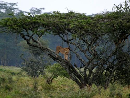 Lion on the watch at Lake Nakuru