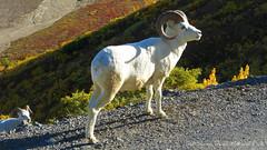 Wildlife - Animal - Dall Sheep in Denali Natio...