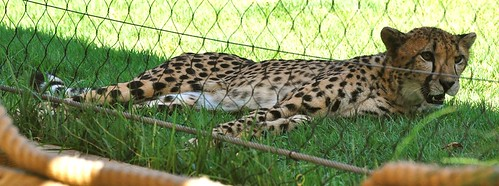 Lounging Cheetah