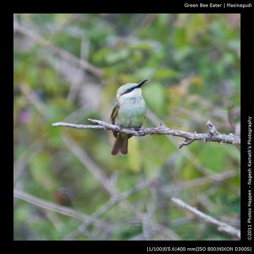 Green Bee Eater | Masinagudi