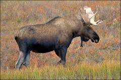 Animal - Moose - Alaska