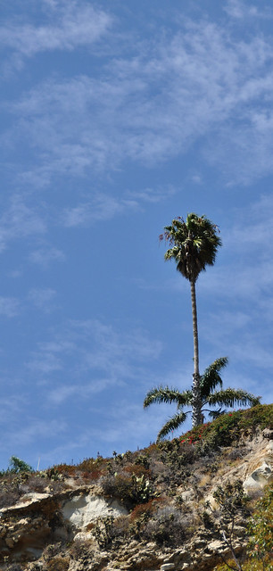 Hillside Palm above Dana Point Harbor