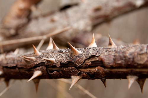 Day 234 :: 365 … Such a Thorny Situation we Have by Echo9er