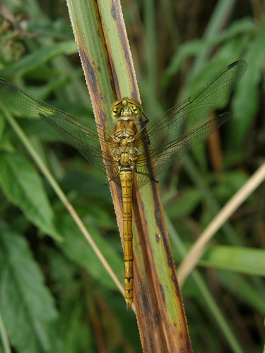 Female common darter