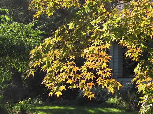 Japanese maple in morning light