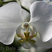 white orchid_cr