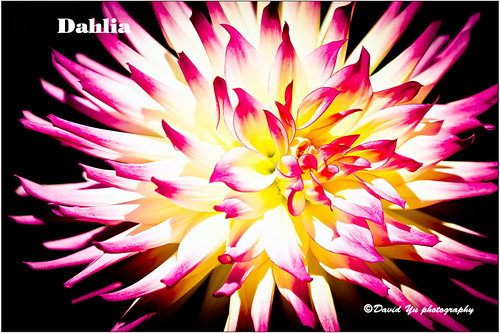 Dahlia by davidyuweb