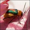 20111026 Beetle macro