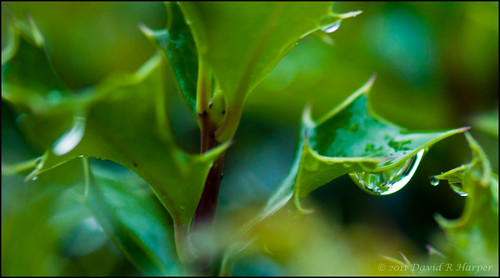 Day 295 :: 365 ..::.. Raindrops on Holly by Echo9er