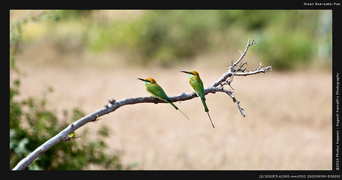 Green Bee-eater Pair
