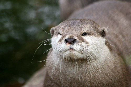 Otters 10